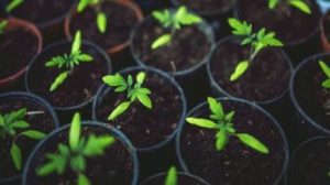 Small Tomato Plants